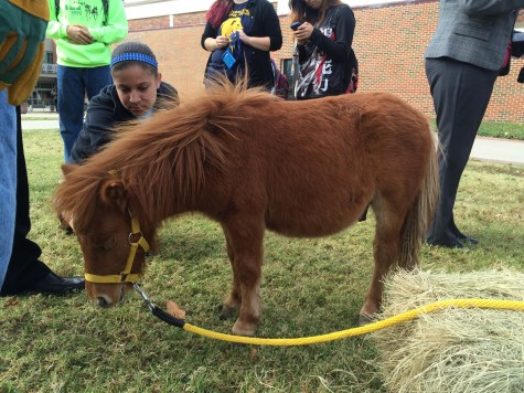 Miniature Horse Petting
