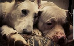Despite study, pit bull owners loyal to the breed